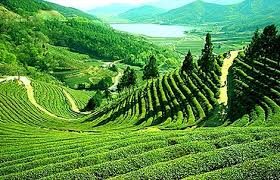 Tourist places to visit in Darjeeling Happy Valley Tea Garden