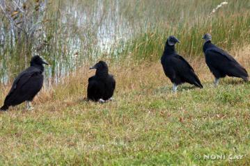 IMG_3195 Immature Turkey Vulture