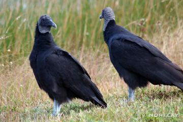 IMG_3196 Immature Turkey Vulture