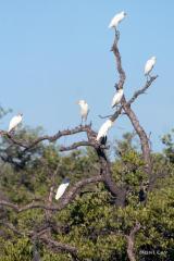 IMG_5484 Cattle Egrets