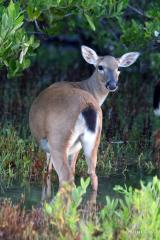 IMG_5582 Key Deer Female in Marsh