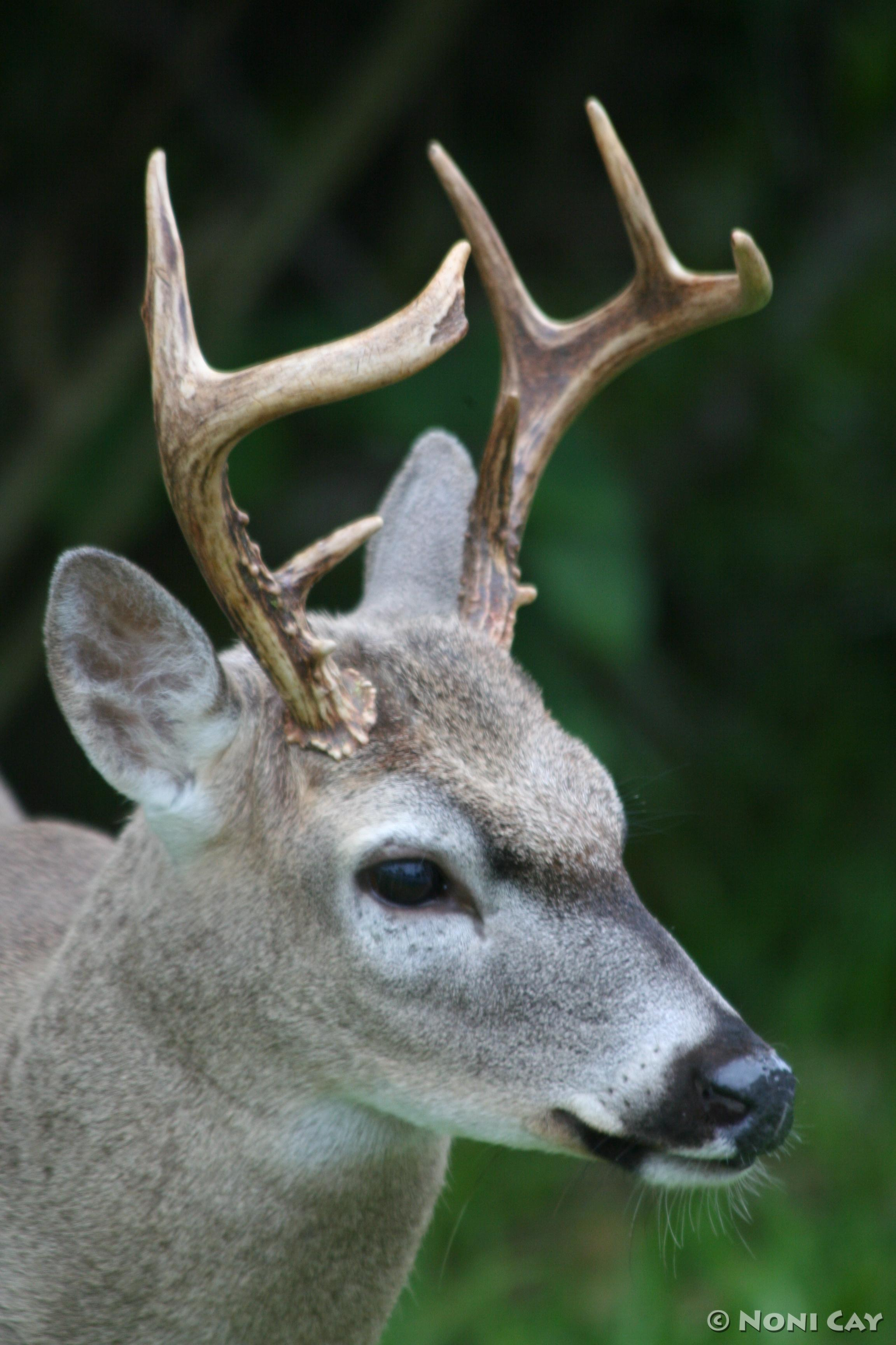 Key Deer Facts | Noni Cay Photography - photo#37
