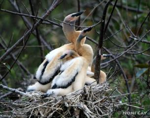 IMG_0875Anhinga babiesresize Anhingas in Nest
