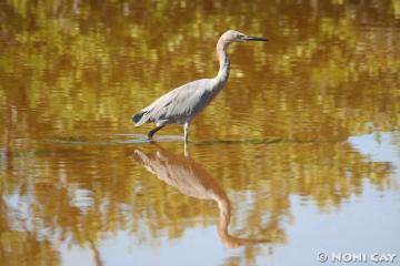 IMG_8856 Reddish Egret