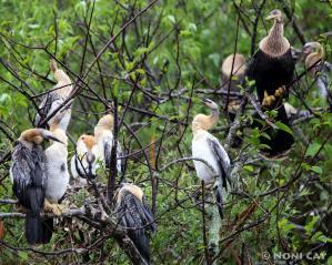 IMG_2464anhinga family resize Anhingas in Tree
