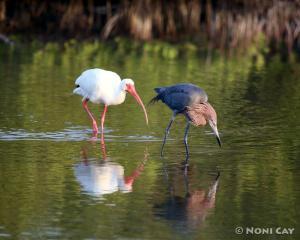 Reddish Egret and Ibis