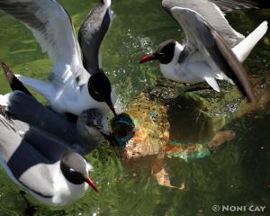 IMG_4610Laughing Gull and Parotfish Laughing Gulls and Rainbow Parrotfish