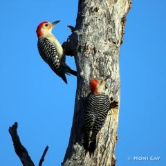 IMG_5467Red-bellied Woodpeckers Red-bellied Woodpecker