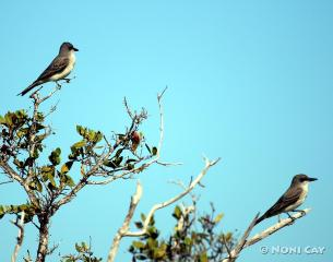 IMG_5520mockingbirds