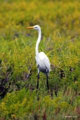 IMG_6428GreatEgret Great White Egret