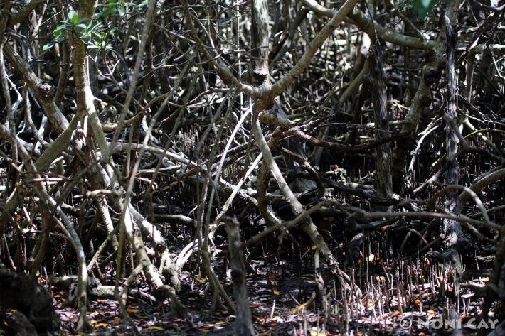 IMG_6827InTheMangroves