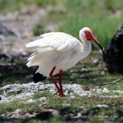 IMG_6864IbisBreedingColor Ibis in Breeding Colors