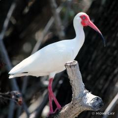 IMG_6904PaleBlueEyes Ibis in breeding color