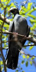 IMG_7328white-crown pigeon