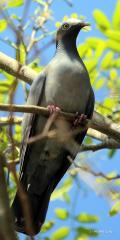 IMG_7387White-crowned Pigeon