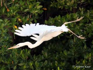 IMG_0329GreatWhiteHeron Great White Heron