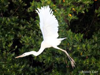 IMG_0330GreatWhiteinFlight Great White Heron