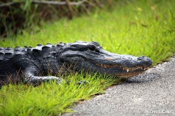 IMG_2207alligator