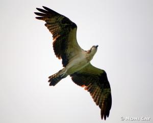 IMG_4289SeaEagleFlying Sea Eagle