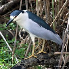IMG_8281Black-crowned Night-Heron
