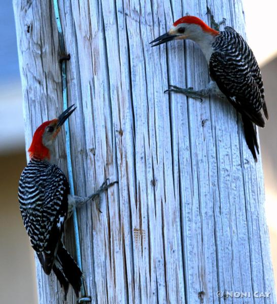 IMG_6502Red-belliedWoodpeckers