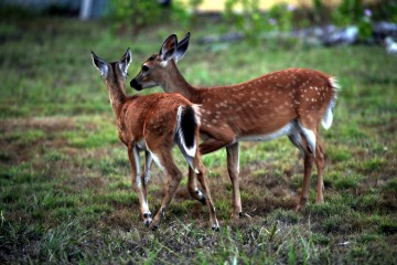 IMG_1740Fawns