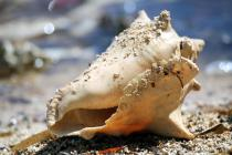 IMG_7379Conch