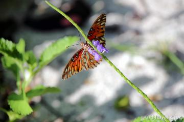 IMG_7500Butterfly