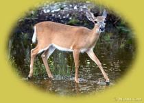 DeerLife