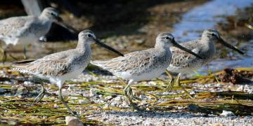 IMG_8053SpottedSandpipers