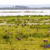 Vogelkolonie am Hornborgasjön