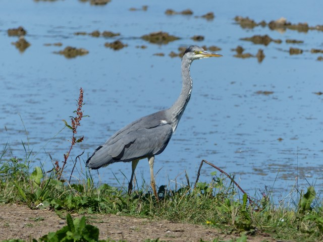 Grey Heron   Norfolk Wildlife Trust Grey heron by Kevin Woolner 1 10