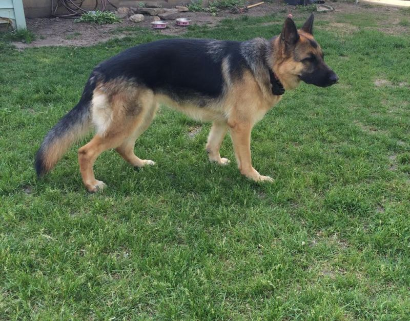 Large Of Are German Shepherds Good With Kids