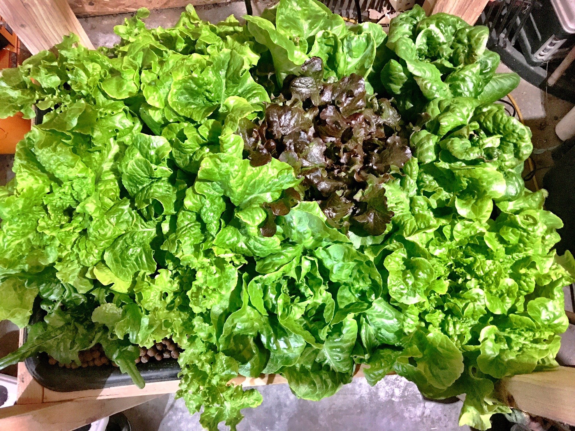 How To Grow Hydroponic Lettuce No Soil Solutions