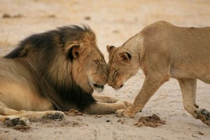 Cecil and lioness