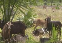 Peligra ovinocultura en Quintana Roo