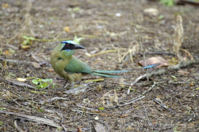 The Blue-crowned Motmot posing on the ground.