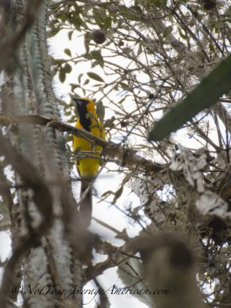 A Yellow-tailed Oriole hanging out near the fruiting cactus.
