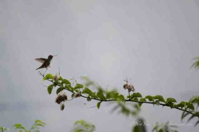 An Amazilia Hummingbird in the distance.