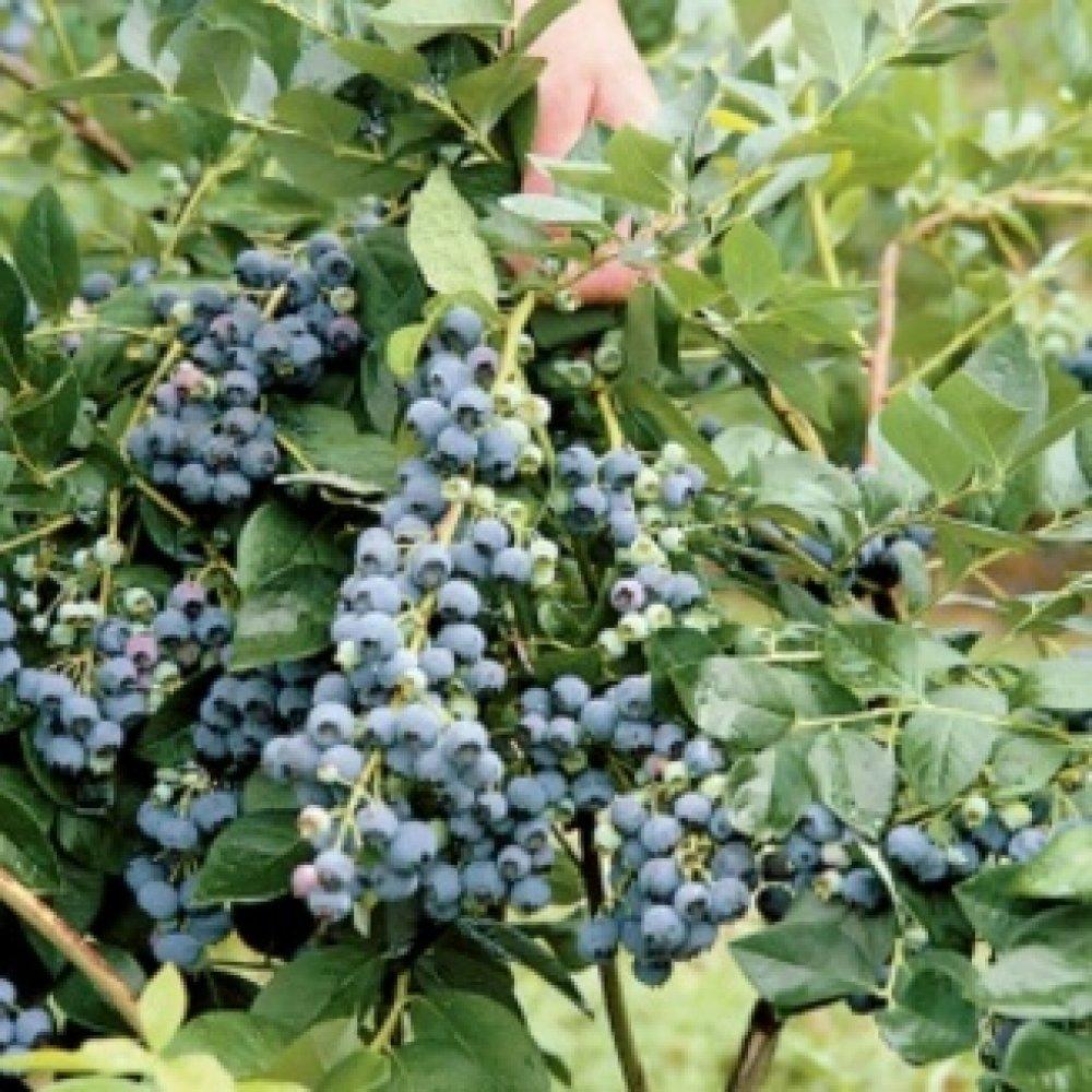 Fullsize Of Top Hat Blueberry