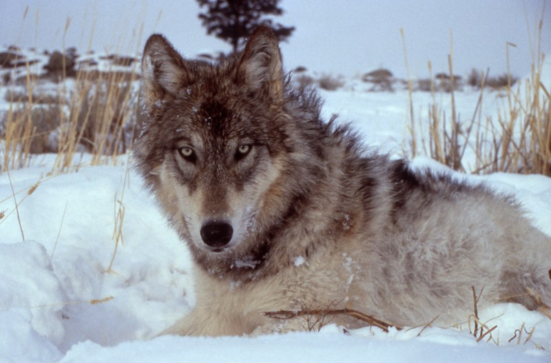 Large Of Wolf Names Female