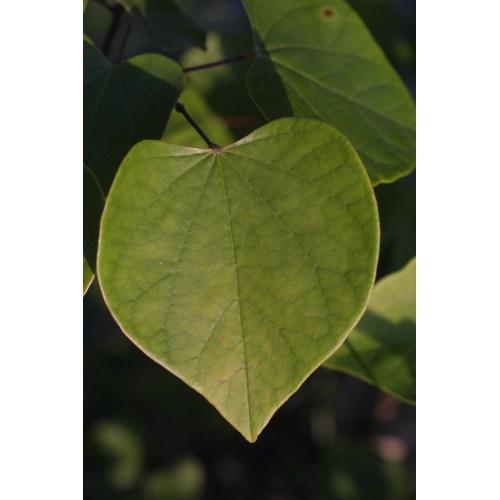 Medium Crop Of Redbud Tree Leaves