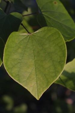 Small Of Redbud Tree Leaves