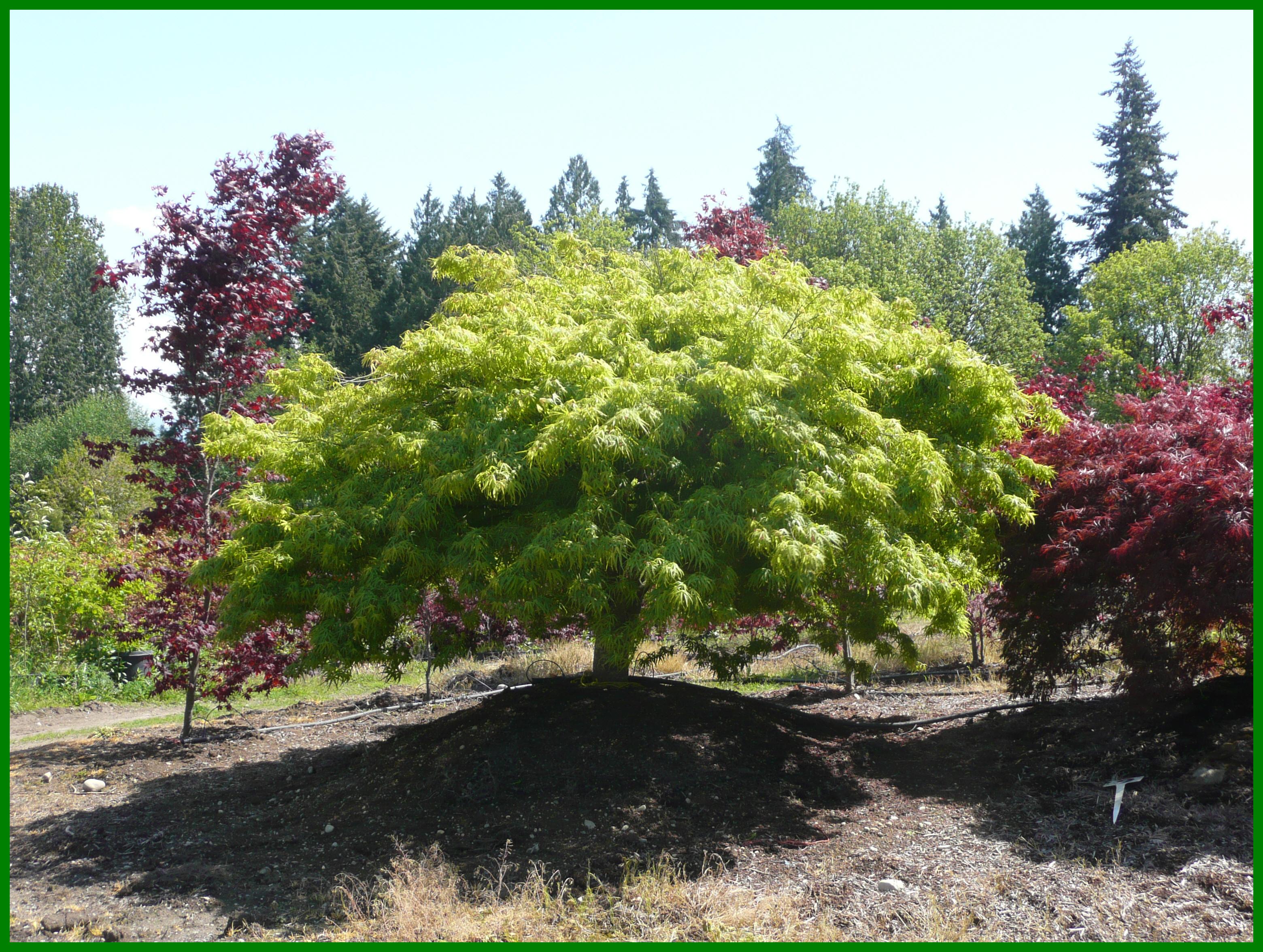 Peaceably Laceleaf Japanese Maple Trees Available Washington Green Japanese Maple Leaves Green Japanese Maple Images houzz-03 Green Japanese Maple
