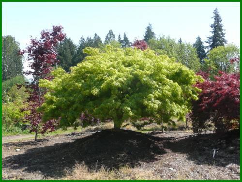 Medium Of Green Japanese Maple
