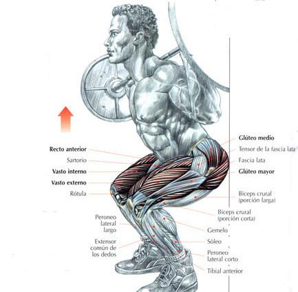 """Músculs implicats a la sentadeta, del clàssic llibre de Delavier """"Guía de los Movimientos de Musculación"""""""