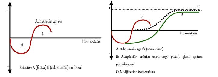 Esquema representatiu del procés d'estímul-resposta (adaptació aguda i crònica) de la càrrega de l'entrenament