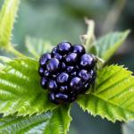 Blackberries - Small in Size, Big in Nutrition