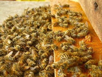 Monsanto Announces New SoyBee'n Self-Pollinating Soy Bean!