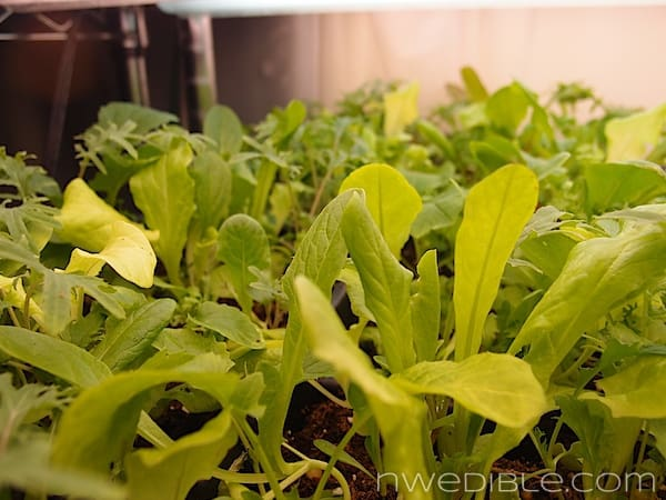 Mesclun Seedlings